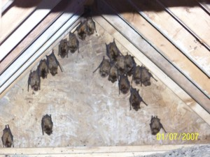 Large Brown Bats removal and exclusion Union, MI