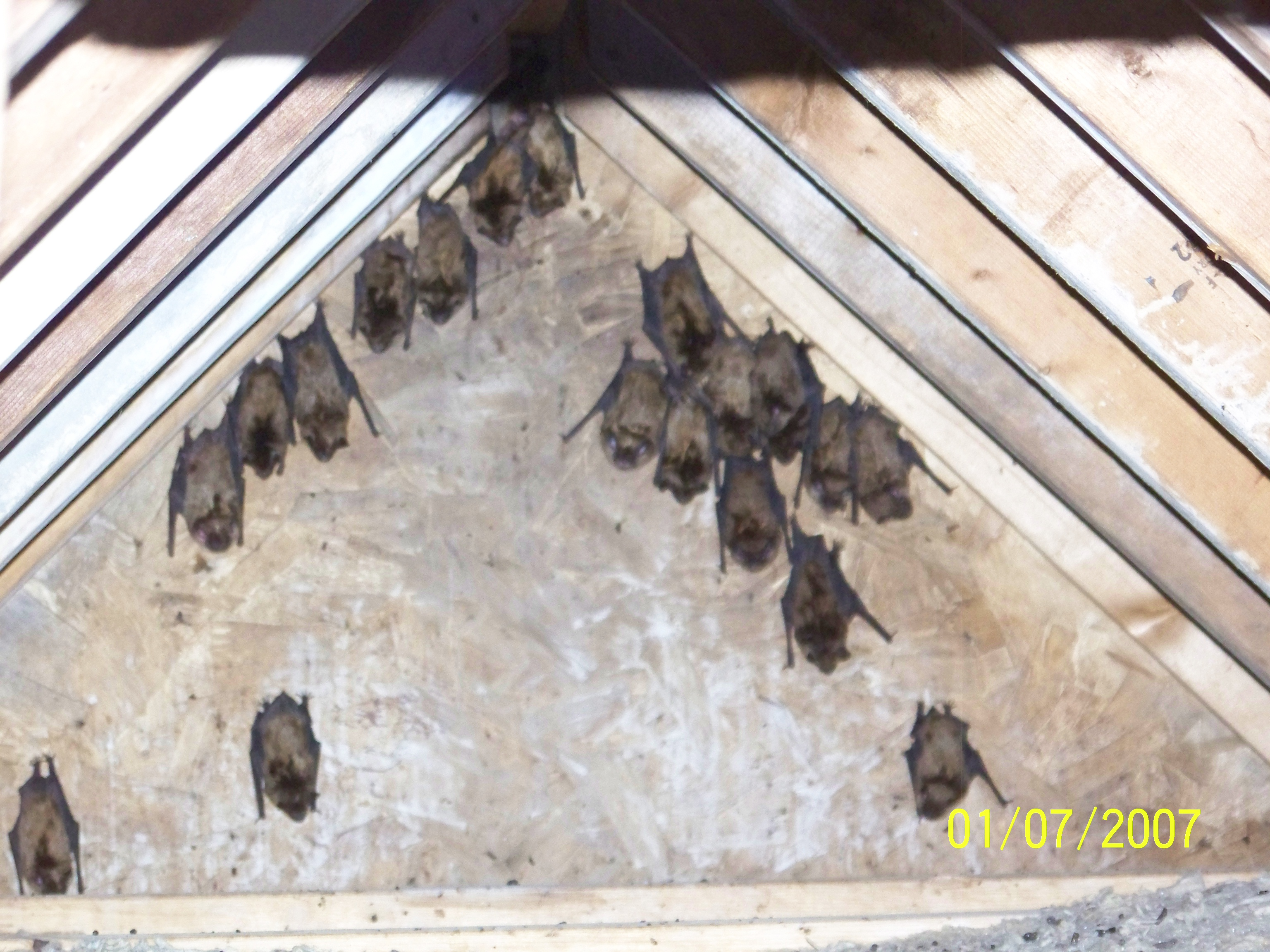 Don T Wait To Remove Bats From Attic Awesome Animal Control