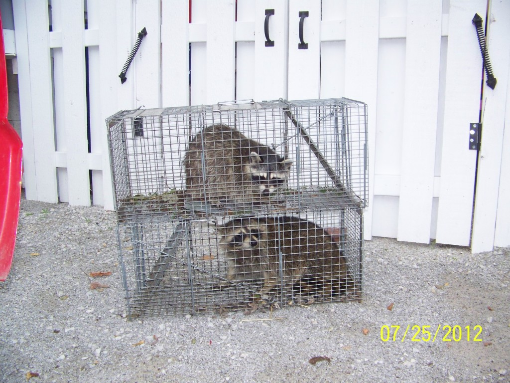 Raccoon double trapped  in Granger, IN
