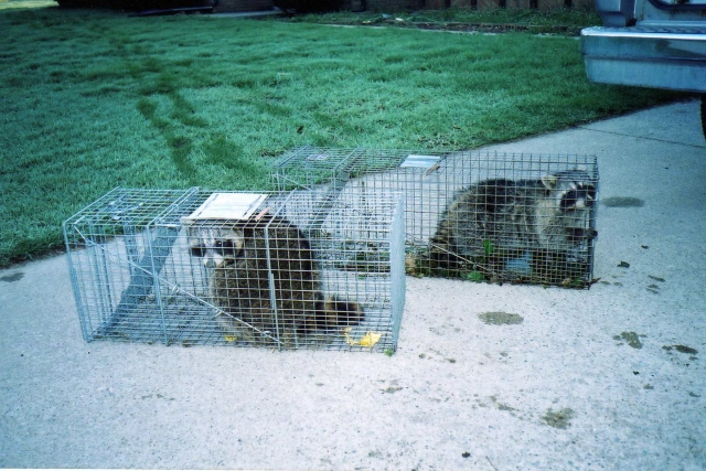 Raccoon trapping removal and damage repair Berrien Springs, MI